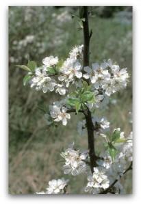 Prunus americana flowers, East Curtis Prairie UW-Madison Arboretum