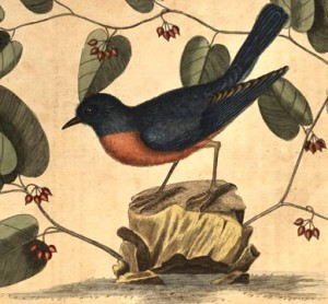 Detail from Mark Catesby, natural history of Carolina, Florida, and the Bahama island. From the Thordarson Collection, Department of Special Collections, Memorial Library, University of Wisconsin-Madison.