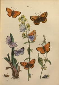 Plate 15 from John Obadiah Westwood, The butterflies of Great Britain (London: W. S. Orr and Co., 1855). Thordarson T 4597. Department of Special Collections, Memorial Library, University of Wisconsin-Madison.