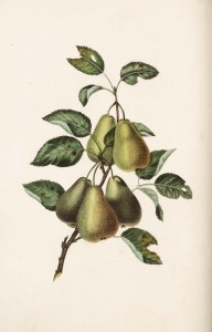 Pears, from George Brookshaw, Groups of fruit: accurately drawn and coloured after nature, with full directions for the young artist: designed as a companion to the treatise on flowers and birds. One of two editions in the Thordarson Collection, Department of Special Collections, Memorial Library, University of Wisconsin-Madison. Edition of 1817 digitized as part of the University of Wisconsin Digital Collections.