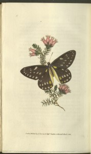"Plate XXXV, Belladonna's butterfly, from vol. 1 (1834) of Edward Donovan's The naturalist's repository, or, Miscellany of exotic natural history, 5 vols. (London: Printed for the author, and Simpkin & Marshall, 1834). From the Thordarson Collection, Department of Special Collections, Memorial Library, University of Wisconsin-Madison. Note the credit in the plate to ""Mess.rs [Messieurs] Simpkin & Marshall."""