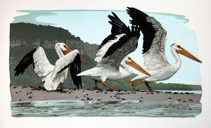 Pelicans (Pelecanus erythrorhynchos) by Gaylord Schanilec